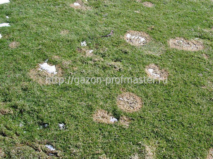 фото болезни газона